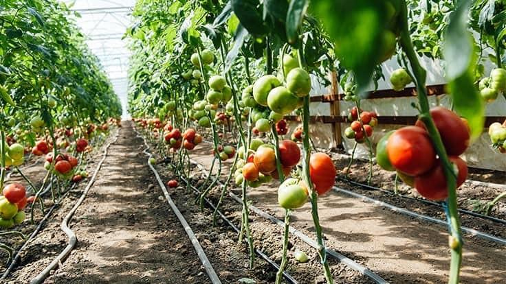 پرورش گوجه فرنگی گلخانه ای