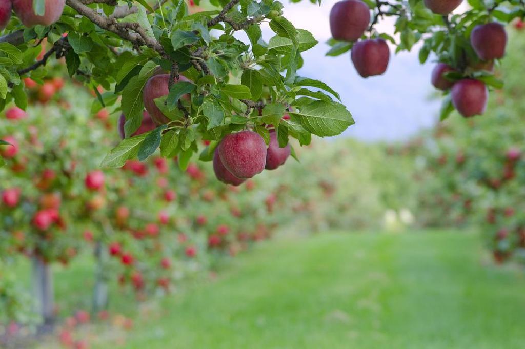 کاشت، داشت و برداشت سیب