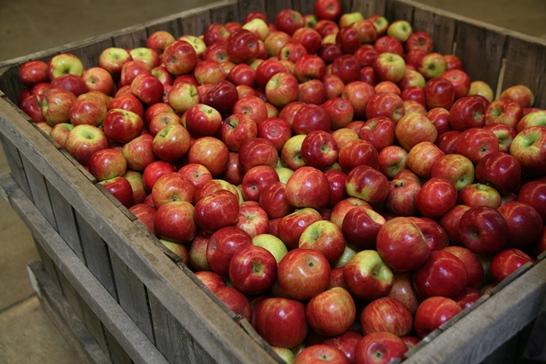 سهم اقتصادی سمیرم درصادرات سیب کشور