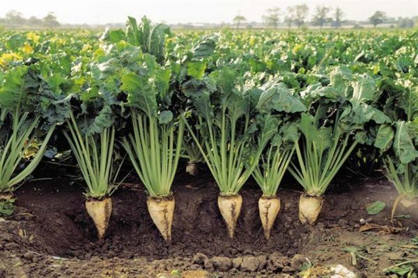 زراعت چغندرقند